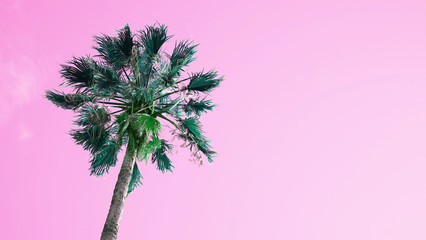 One palm tree on pink sky background. The bottom view, sun glare. Pop art color.