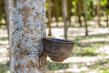 Natural rubber latex trapped extracted from rubber plantation Background, Rubber trees in Thailand.(green nature background)