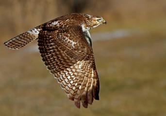 Red-tailed hawk (Buteo jamaicensis) in flight Fototapete