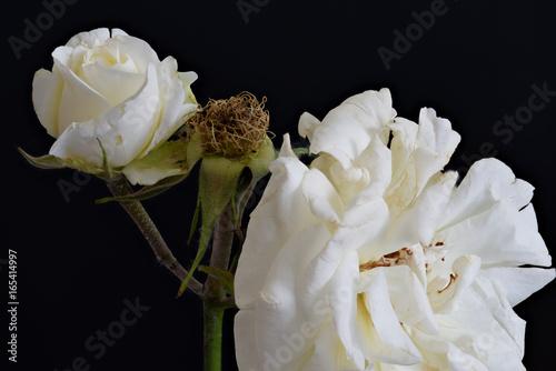 Fine Art Floral Color Macro Portrait Of White Rose Blossoms On Black