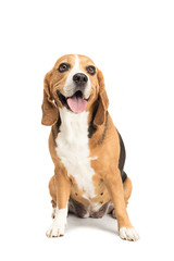 cute furry beagle dog sitting isolated on white