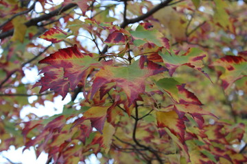 Fall Foliage Tree With Green and Red Leaves