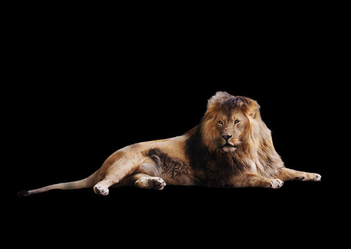 Lion laying full size isolated at the black looking back