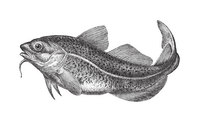 Atlantic cod (Gadus morhua) - vintage illustration