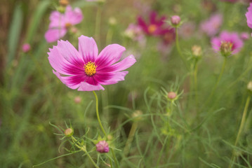 Close- up of Cosmos flower with out blur background