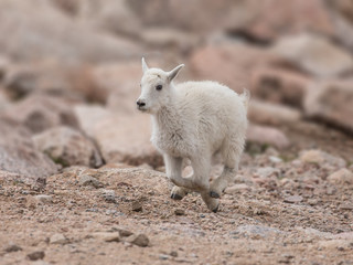 Galloping Goat - A one month old baby goat (kid) runs at a gallop for its nanny mother goat.