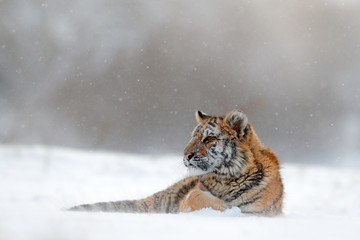 Tiger in wild winter nature.  Amur tiger lying in the snow. Action wildlife scene, danger animal. Cold winter, tajga, Russia. Snowflake with beautiful Siberian tiger.