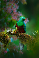 Magnificent sacred green and red bird. Birdwatching in jungle. Beautiful bird in nature tropic habitat. Resplendent Quetzal, Pharomachrus mocinno, Guatemala, with green forest background. Flowers.
