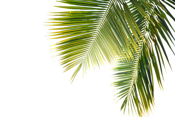 Coconut  leaves on a white background