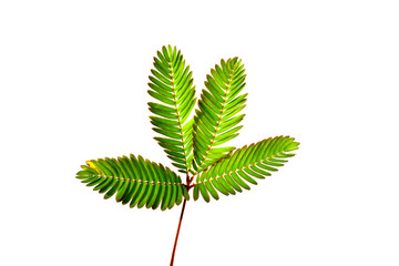 sensitive plant, sleepy plant, the touch-me-not on a white background