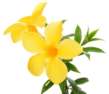 close up Allamanda yellow flower isolated on white background