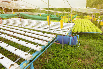 Hydroponics green vegetable growing in the nursery, Agriculture concept.