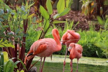 Flamingos bathing in pond