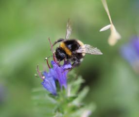The garden bumblebee (Bombus hortorum)