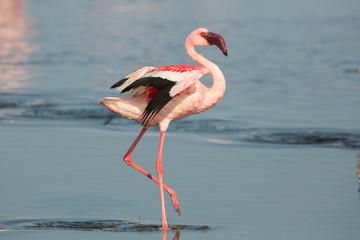 Foto op Canvas Flamingo Lesser flamingo (Phoeniconaias minor), Walvis bay, Namibia