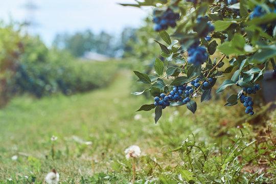 Fresh organic blueberrys on the bush. Vivid colors. With copyspace.