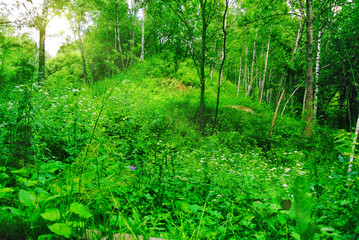 Deep spring forest with a sunny day with bright green foliage under the rays of the Sun.