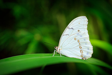 Morpho polyphemus, the white morpho, white butterfly of Mexico and Central America. Big white butterfly, sitting on green leaves, Mexico. Tropic forest. Insect in the nature tropic habitat.