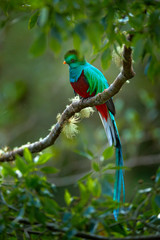 Birdwatching in America. Exotic bird with long tail. Resplendent Quetzal, Pharomachrus mocinno, magnificent sacred green bird from Savegre in Panama. Rare magic animal in mountain tropic forest.