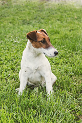Jack Russel Terrier resting in a field