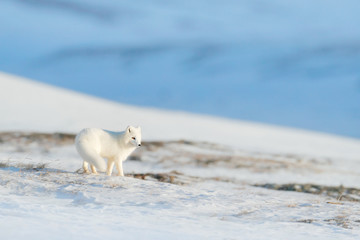 Polar fox in habitat, winter landscape, Svalbard, Norway. Beautiful animal in snow. Running fox. Wildlife action scene from nature, Vulpes lagopus, in the nature habitat.