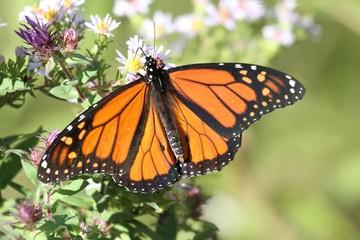 Fotoväggar - Monarch Butterfly (danaus plexippus)