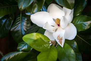 Magnolia tree blossom.