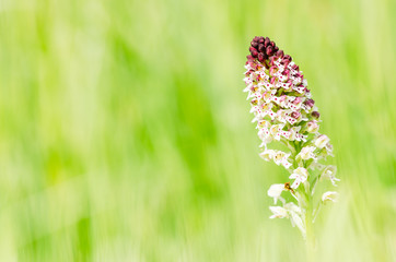 Burnt-tip orchid (Orchis ustulata)