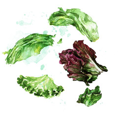Lettuce leafs. Watercolor Illustration.