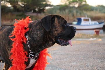 chien avec un boa rouge
