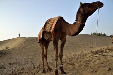 Dromadaire dans le désert du Thar