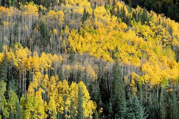 Colorado Fall Aspens