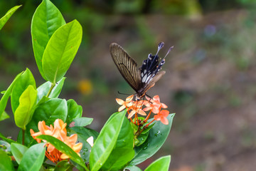 Black and Brown Butterfly