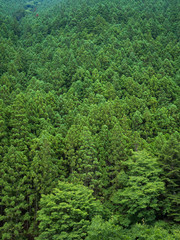 初夏の杉林