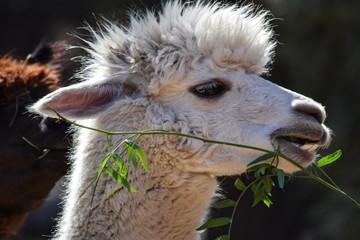 Lama eating leafs