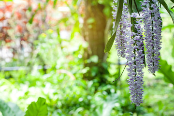Rhynchostylis retusa (Foxtail Orchid) is an exotic blooming orchid, belonging to the Vanda alliance.The inflorescence is a pendant raceme, consisting of more than 100 pink-spotted white flowers