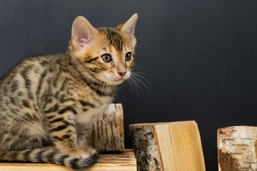 Bengali striped kitten sits on pieces of birch wood, on a dark background
