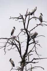 Asian Openbills on tree
