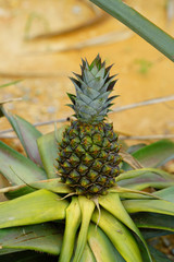 Pineapple growing on a tropical plant