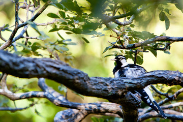 Willy Wagtail bird sitting on branch of tree