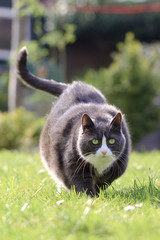 Beautiful fat obese kitty cat on a diet working out in the garden to lose some weight