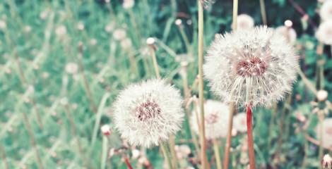 Dandelion. White dandelion flowers on summer field