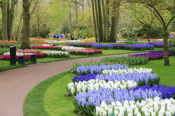Beautiful tulips, hyacinths, daffodils and other flowers in spring in the Keukenhof in the Netherlands