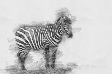 Zebra. Sketch with pencil