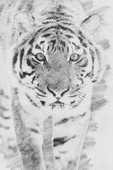 Wall Mural - Tiger. Sketch with pencil
