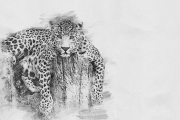 Leopard. Sketch with pencil