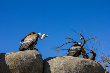 Wildlife animal scene from nature. Vulture sitting on the rock