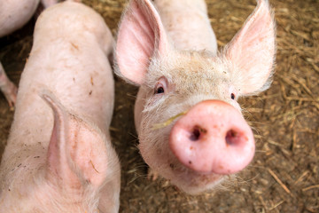 Funny wide angle close up portrait of a cute pig (sus scrofa) and snout