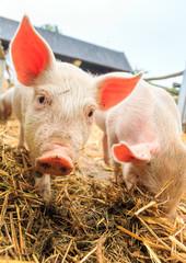 Cute baby piglet (sus scrofa) in straw
