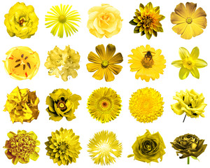 Collage of natural and surreal yellow flowers 20 in 1: peony, dahlia, primula, aster, daisy, rose, gerbera, clove, chrysanthemum, cornflower, flax, pelargonium, marigold, tulip isolated on white